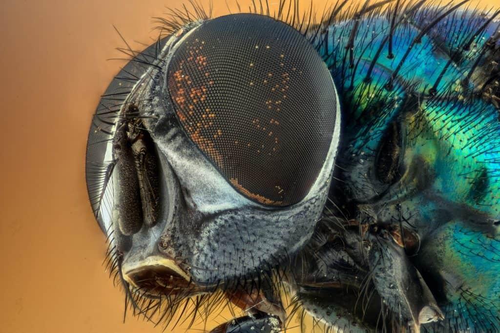 עיניים של חרק